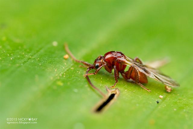 Cuckoo wasp (Loboscelidia sp.) - DSC_3721