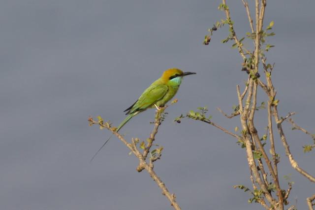 Guêpier ou Bee-eater