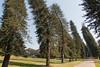Cook Pines, Peradeniya Botanical Gardens, Kandy