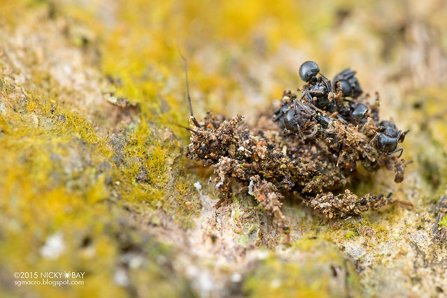 Masked hunter assassin bug (Reduvius sp.) - DSC_5049