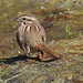 Song sparrow/Bruant chanteur-Morgan Arboretum,QC