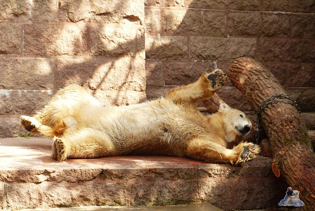 Eisbär Fiete Zoo Rostock 11.04.2015 Teil 1 106