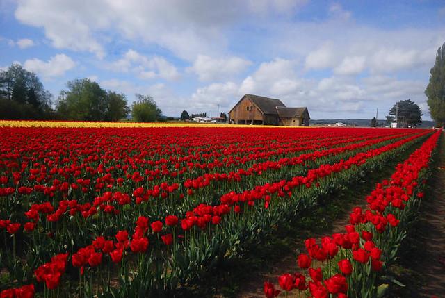 TulipsBarn