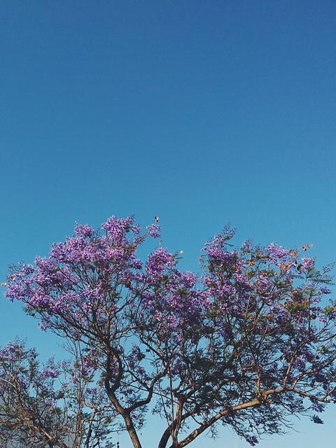 Jacaranda. 04.15.2015