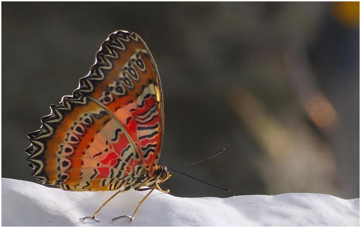 Papillons en Fêtes 2015 16985450586_3697a5c324_o