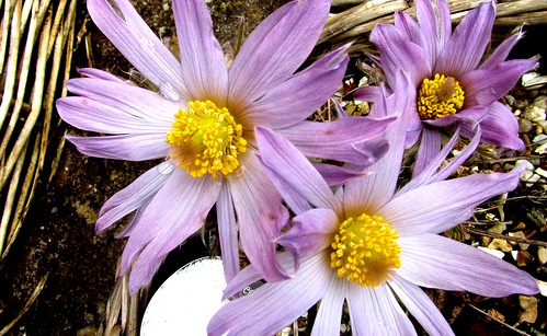 Pasque flower on Easter Sunday