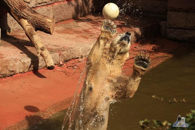 Eisbär Fiete im Zoo Rostock 04.05.2015 288