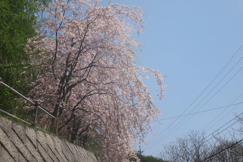 南相木の桜