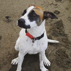 dog breed, animal, danish swedish farmdog, dog, ratonero bodeguero andaluz, brazilian terrier, pet, mammal, parson russell terrier, russell terrier, terrier,