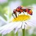 Purple cuckoo wasp by Nikola Rahme