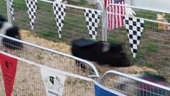animal sports, dog agility,