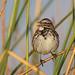 Song Sparrow, Almoloya del Rio, Mexico por Terathopius