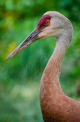 potrait of a sandhill crane