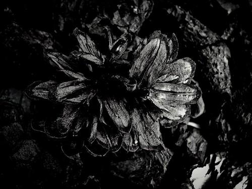 《 松  。花 》