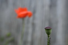 The Red Poppy Seed Pod