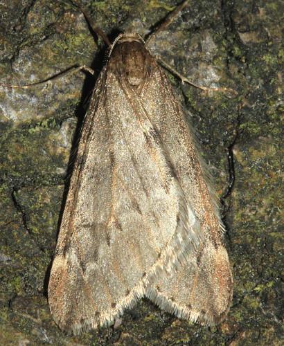 March Moth 3814