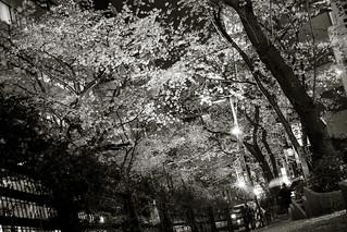 Shibuya City Under Cherry blossom