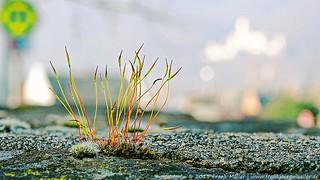 Mauergewächs/Wallplant