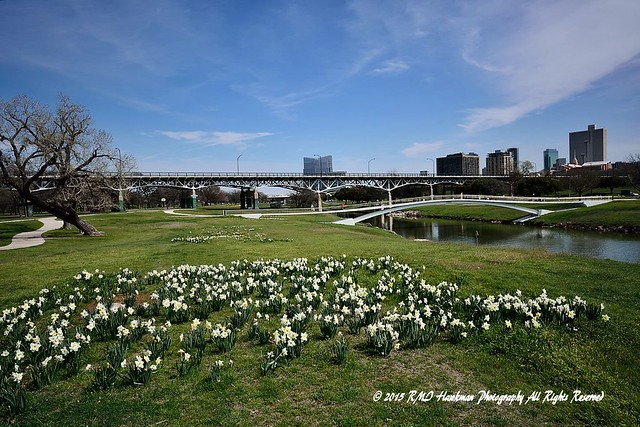 Daffodils At Trinity River Park