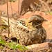 Indian Nightjar (Pradeep Singh)