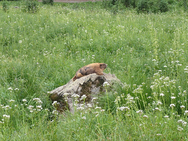 Olympic Marmot In Dose Meadows