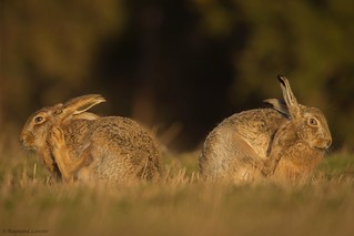 Brown Hare - Anything you can do.......