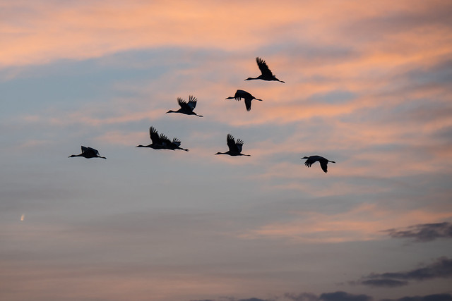 Coming in to Roost