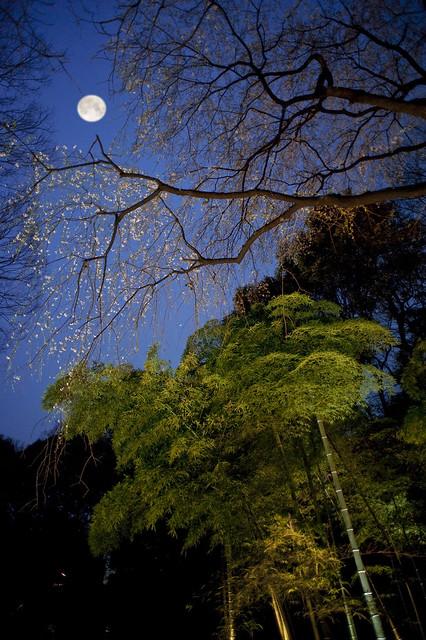 六義園 Moon and Cherry blossoms at Rikugien, Tokyo