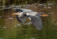 Heron over the Boyne