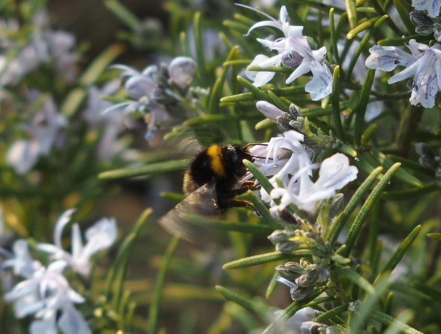 Container herbs: rosemary