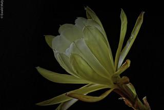 Rare White Epiphyllum
