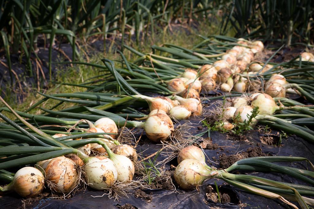 早生タマネギの収穫