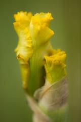 Naissance d'un Iris