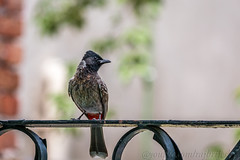 Red-vented bulbul(Pycnonotus cafer)