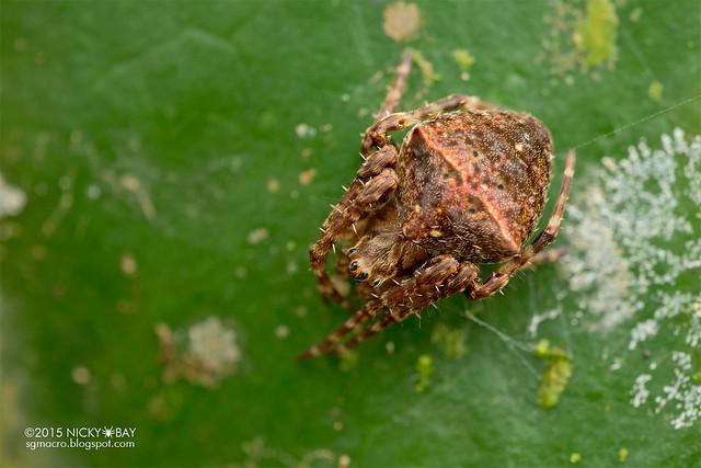 Orb web spider (Gibbaranea sp.) - DSC_3623