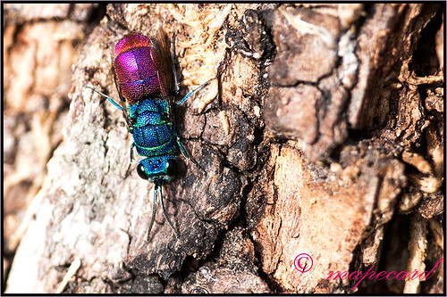 Ruby-tailed Wasps or Jewel Wasps (Chrysis ruddii).