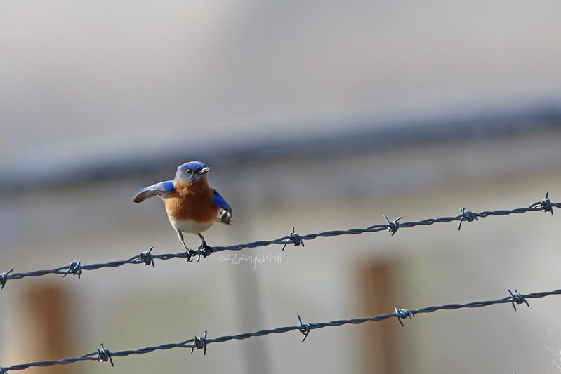 IMG_1558EasternBluebird