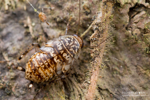Cockroach (Blattodea) - DSC_4879