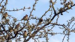 Flock of Cedar Waxwing (Bombycilla cedrorum)