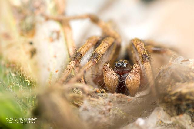 Funnel weaver spider (Agelenidae) - DSC_5848