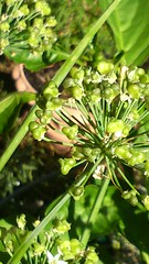 Garlic chives, seed heads