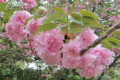 Frilly Pink Cherry Blossoms