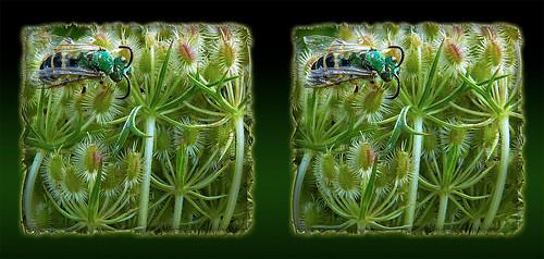 Agapostemon, Metallic Green Sweat Bee 3 - Cross-eye 3D