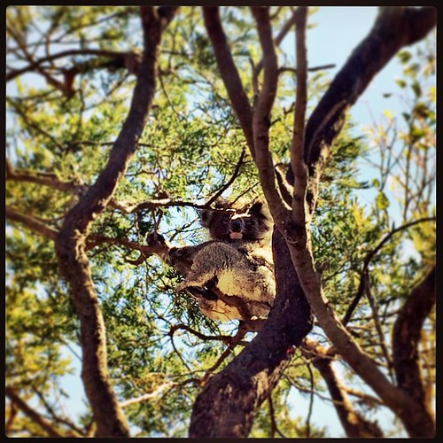 081/365 • how much can a koala bear? Beyond cute - I've never seen a koala in the wild before! • #081_2015 #koala #australia #frenchisland #autumn2015 #birthday #granddayout #bear