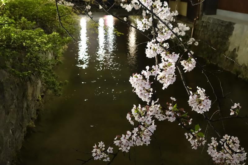 桜の京都 白川南通ライトアップ