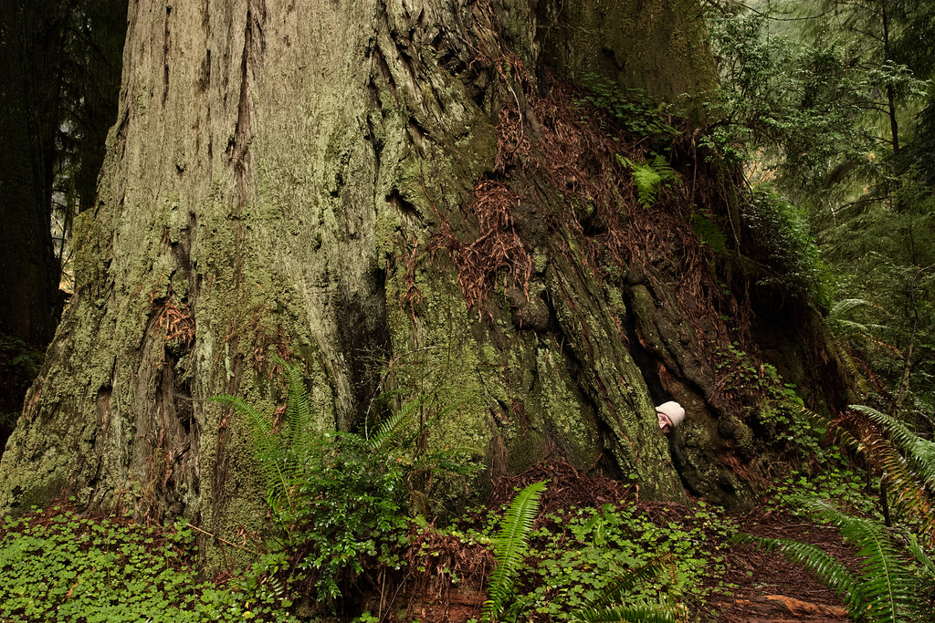 Rick Cameron hides inside a large redwood tree in Prairie Creek Redwood State Park