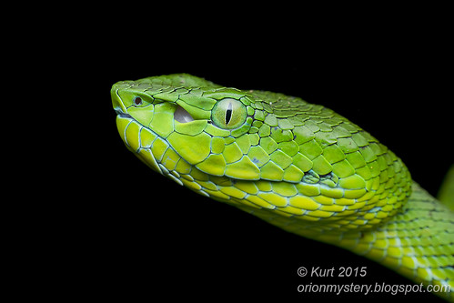 Trimeresurus nebularis_MG_9077 copy