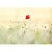 Poppy by canoncatcher