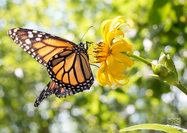 A released monarch butterfly sipps nectar from a yellow flower in the Snetsinger Butterfly Garden in State College, PA.