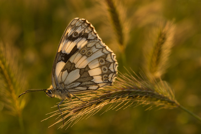 Marbled White at sunset